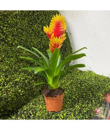 Bromelia (Red-Orange Top)