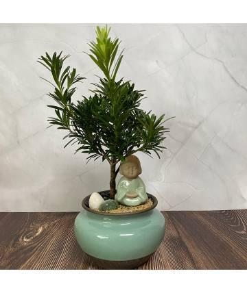 Buddhist Pine (Podocarpus) Serenity