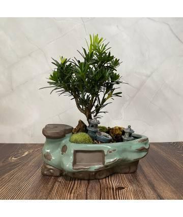 Buddhist Pine (Podocarpus) Garden