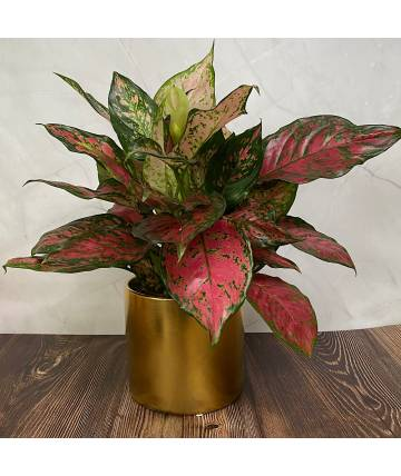 Agloanema Red Valentine (Gold Pot)