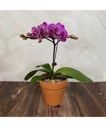 Phalaenopsis Orchid - Speckled Purple