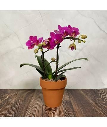 Phalaenopsis Orchid - Bright Purple