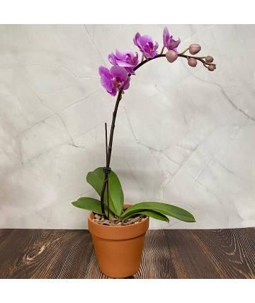 Phalaenopsis Orchid - Soft Purple