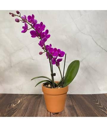 Phalaenopsis Orchid - Purple