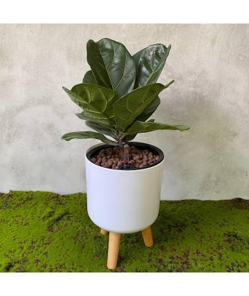 Ficus Lyrata (White Standing Pot)