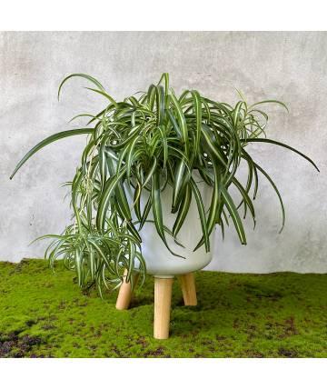 Spider Plant (White Standing Pot)