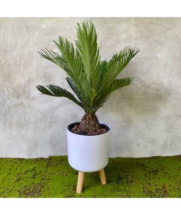 Cycas Palm (White Standing Pot)