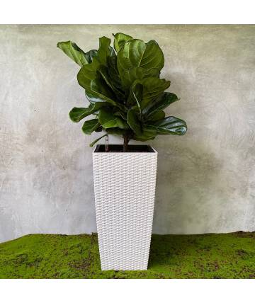 Ficus Lyrata (Self-watering Pot)