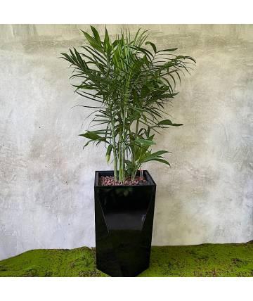 Bamboo Palm (Self-watering pot)