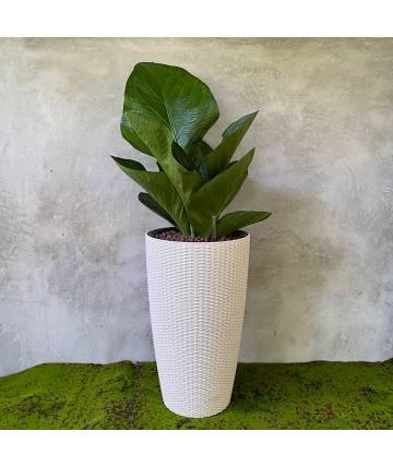 Anthurium Junglebush (Self-watering Pot)
