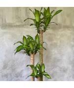Hydroculture Plants