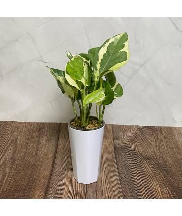 Epipremnum (Marble Queen) in Self-Watering Pot
