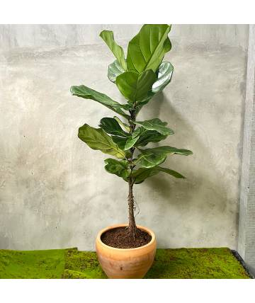 Ficus Lyrata (Single Stem)