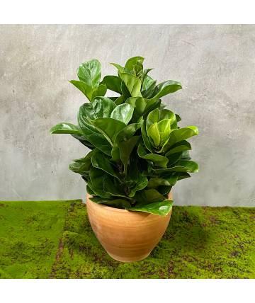 Ficus Bambino (Single Stem)