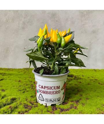 Capsicum Annuum (Yellow)