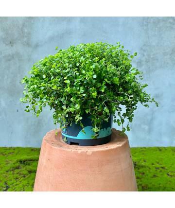 Soleirolia Sole Green