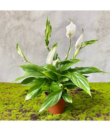Peace Lily (Holland)