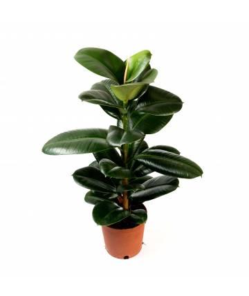 Green Ficus Robusta