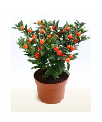 Solanum Capsicum